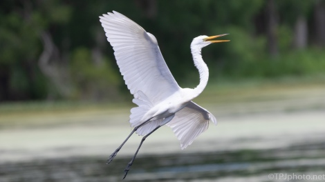 Great Egret Entering A Rookery, A Series - click to enlarge