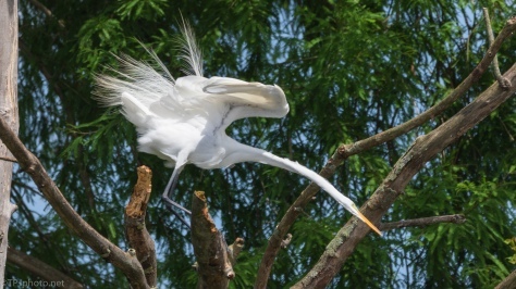 Found Some Small Treat, Egret - click to enlarge