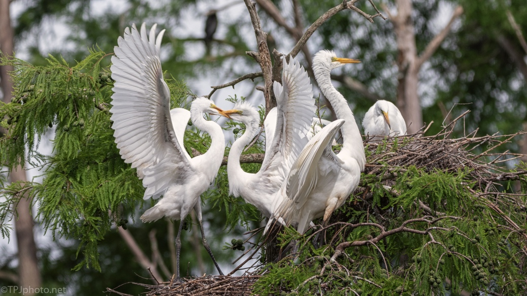 Normal Afternoon Activity, Egrets - click to enlarge