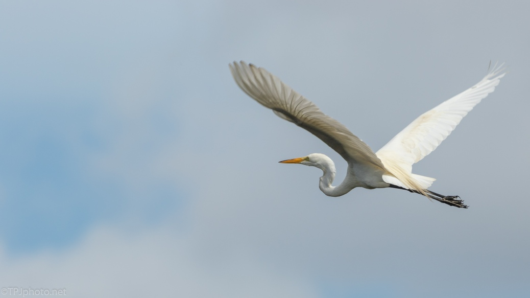 Great Egret, Blue Sky - click to enlarge