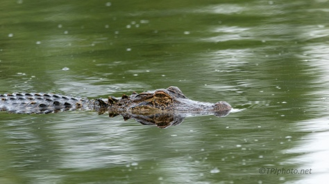 Clean Reflections, Alligator - click to enlarge