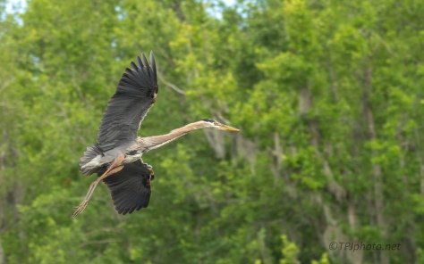 Great Blue Heron Heading Towards The Rookery - click to enlarge