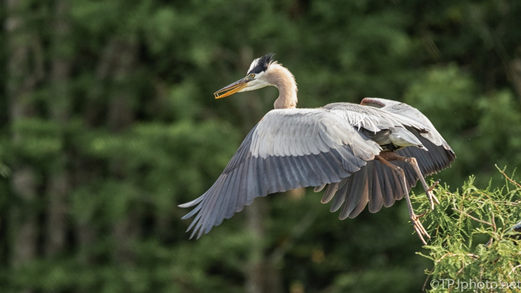 Leap Of Faith, Great Blue Heron - click to enlarge