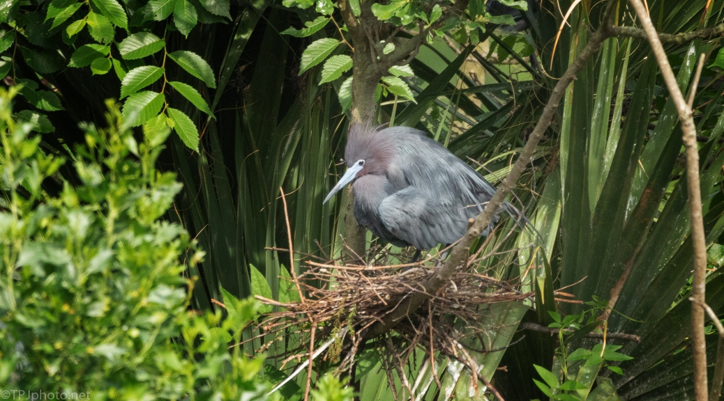 Little Blue Heron On A Nest - click to enlarge