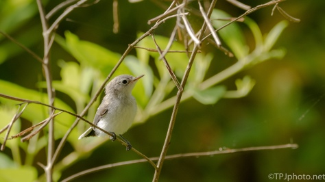 Young Gnatcatcher - click to enlarge