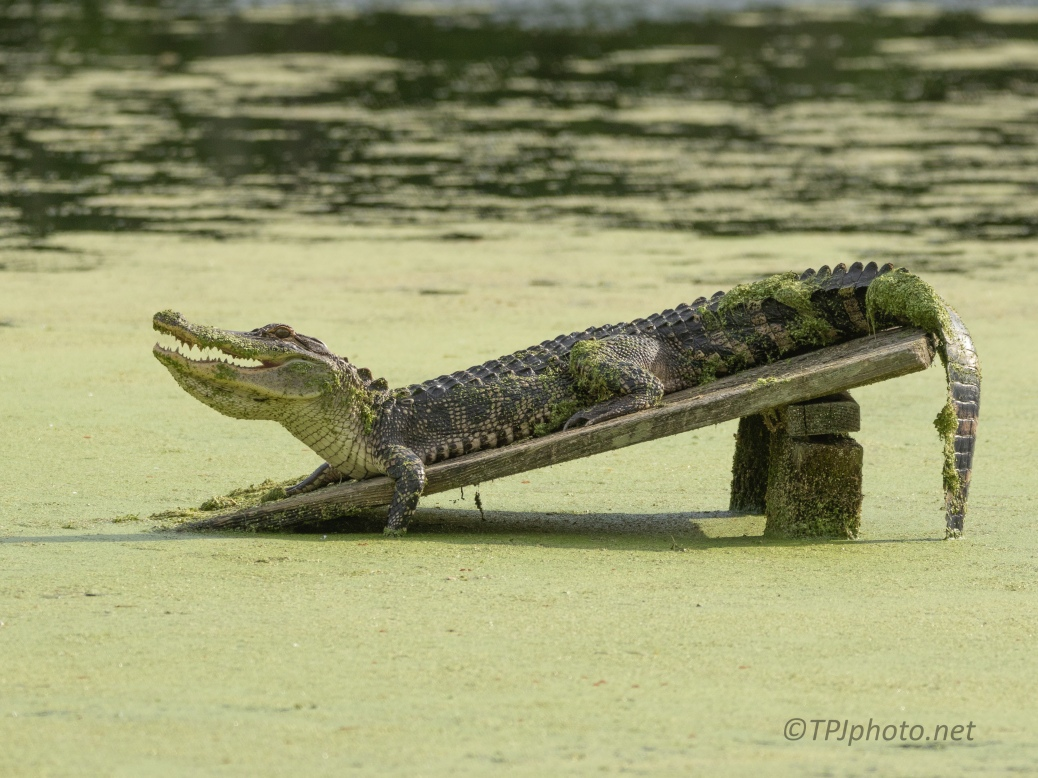 Backwards ? Alligator - click to enlarge