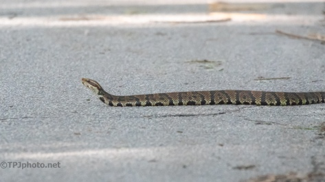 Cottonmouth (aka Water Moccasin) - click to enlarge