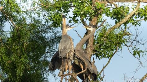 Heron Triplets, Good Grief - click to enlarge