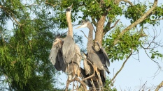 Heron Triplets, Good Grief - click to enlarge