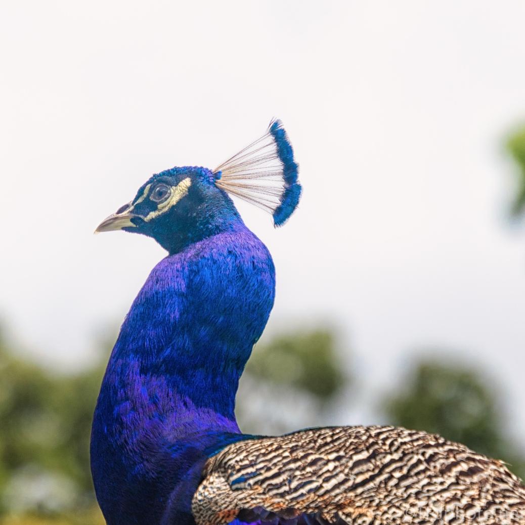 Plantation Peacock - click to enlarge