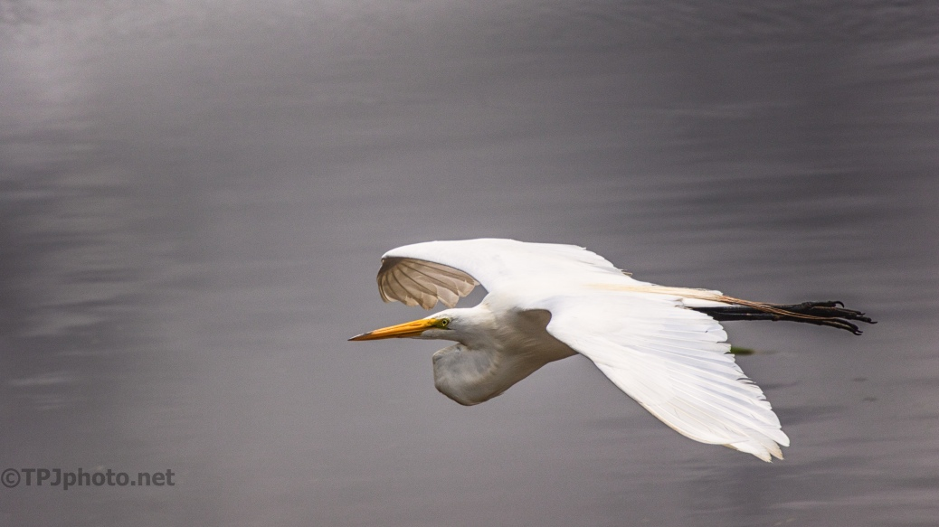 Egret Over The Ashley River - click to enlarge