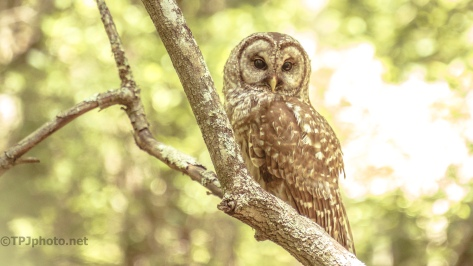 Barred Owl, Swamp Light - click to enlarge