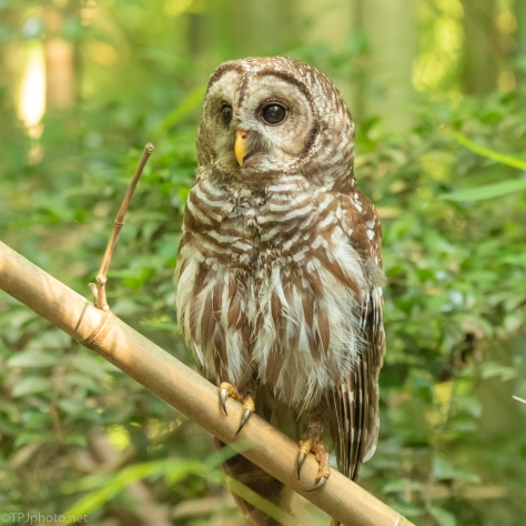 The Bamboo Swamp, Owl - click to enlarge