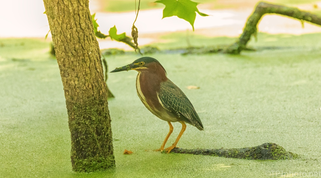 Green Heron In The Shade - click to enlarge
