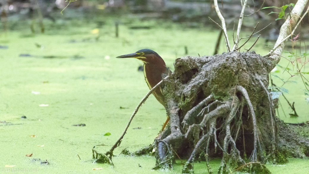 Green Heron And Green Muck - click to enlarge