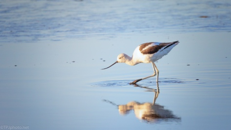 American Avocets In A Marsh