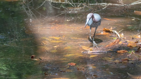 Little Blue Heron On The Hunt - click to enlarge