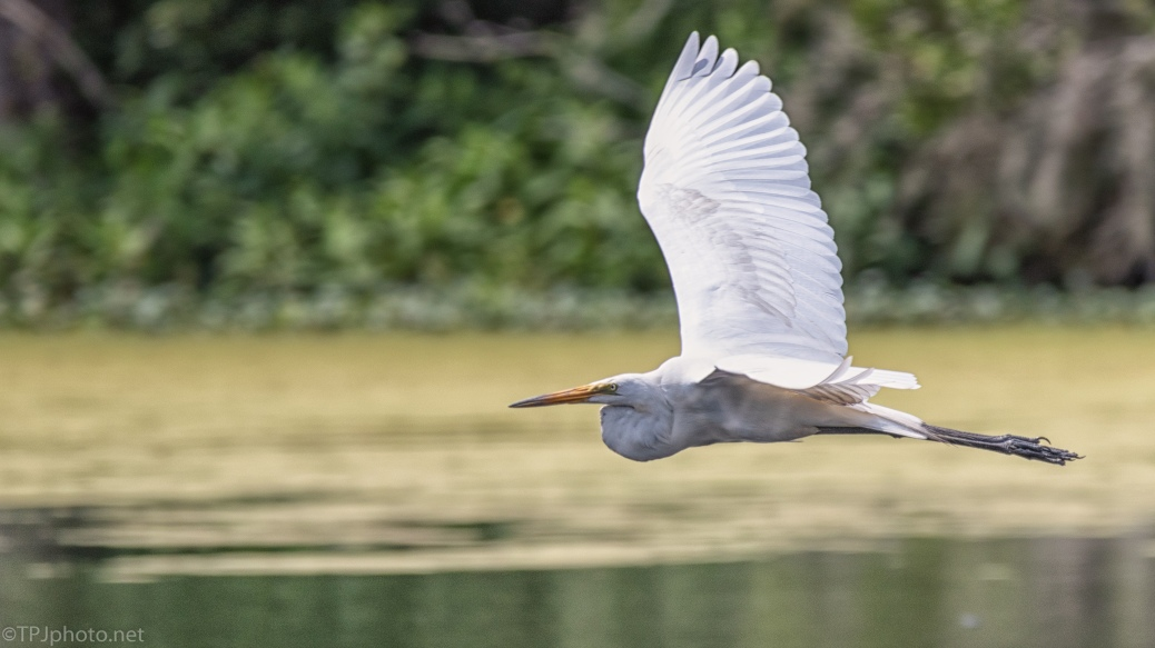 Low Flying Great Egret - click to enlarge