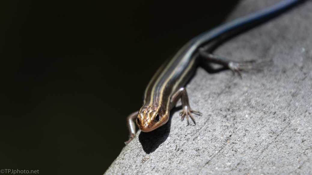 Striped Skink - click to enlarge