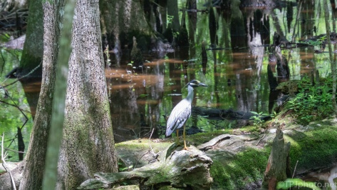 Yellow-crowned Night Heron In A Swamp - click to enlarge