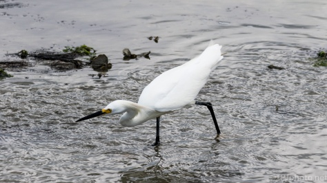 Snowy Egret Skulking Around - click to enlarge