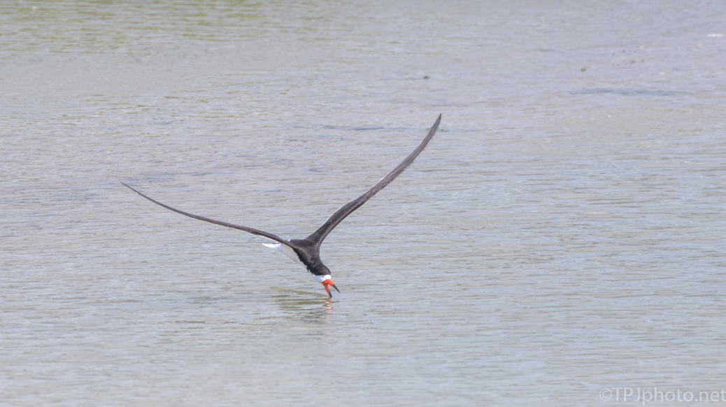 Black Skimmers Fly By (2) - click to enlarge