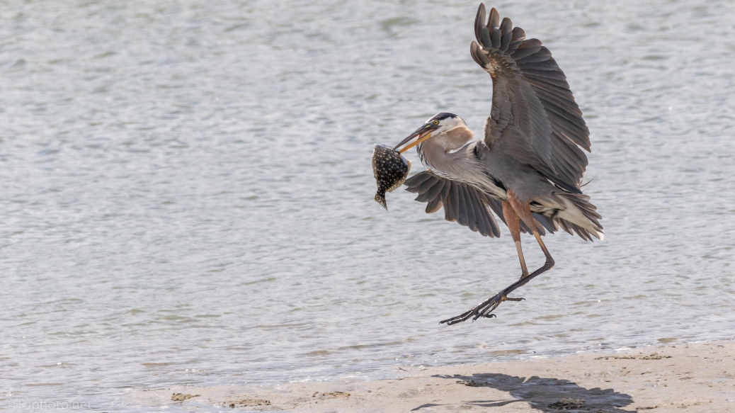 Great Blue Heron, A Fluke - click to enlarge