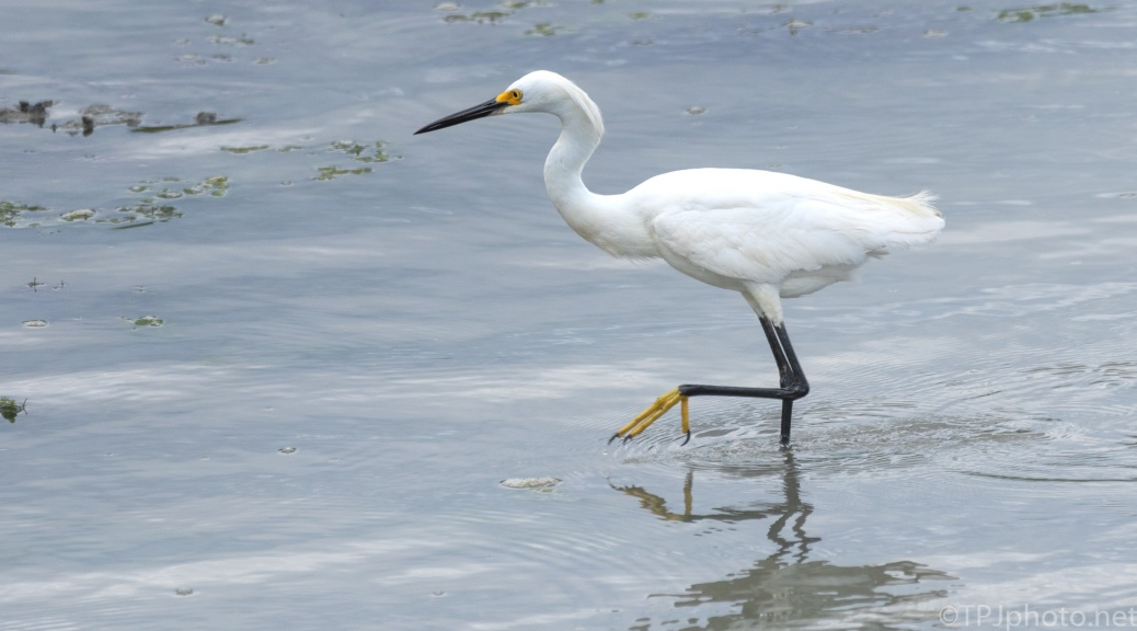 Snowy Egret, Gold Shoes - click to enlarge