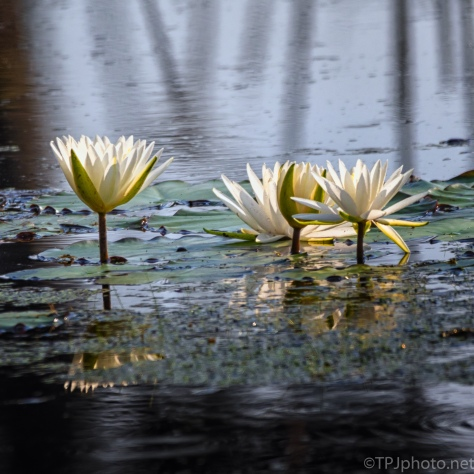 Swamp Water Lily - click to enlarge