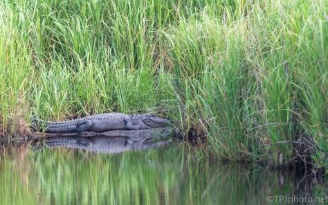 Lazy Summer Day, Alligator - click to enlarge