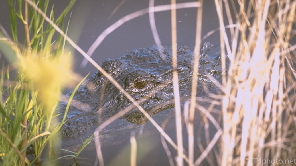 Always A Willing Subject. Alligators - click to enlarge