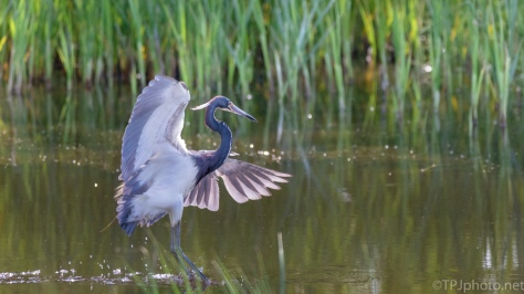 Tricolored Heron, Walking On Water - click to enlarge
