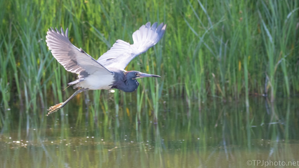 Tricolored Heron, Exit Stage Right - click to enlarge