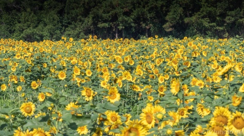 Sunflower Fields - click to enlarge