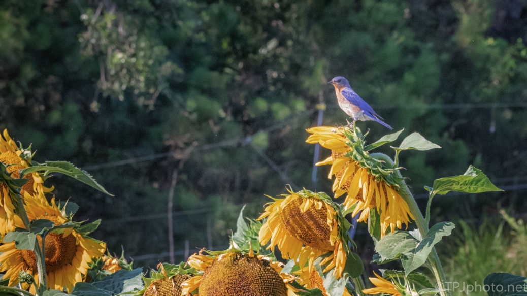 Sunflowers, Bluebird, Hot As ___ - click to enlarge