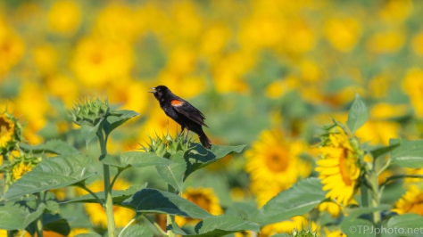 Sunflowers And Red-wings - click to enlarge