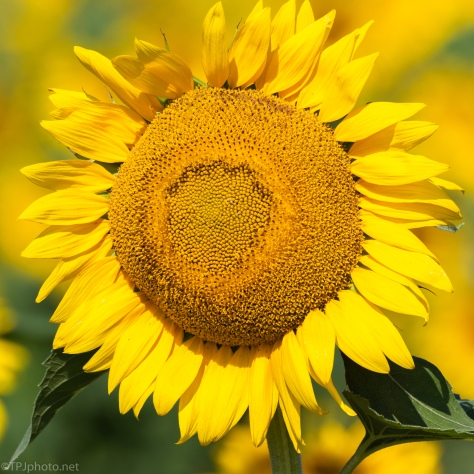 June Sunflower - click to enlarge