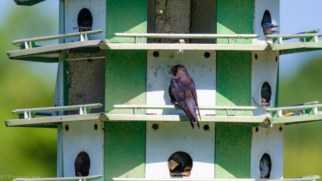 Purple Martin Condo - click to enlarge