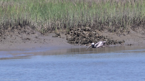 Crashing Brown Pelican - click to enlarge