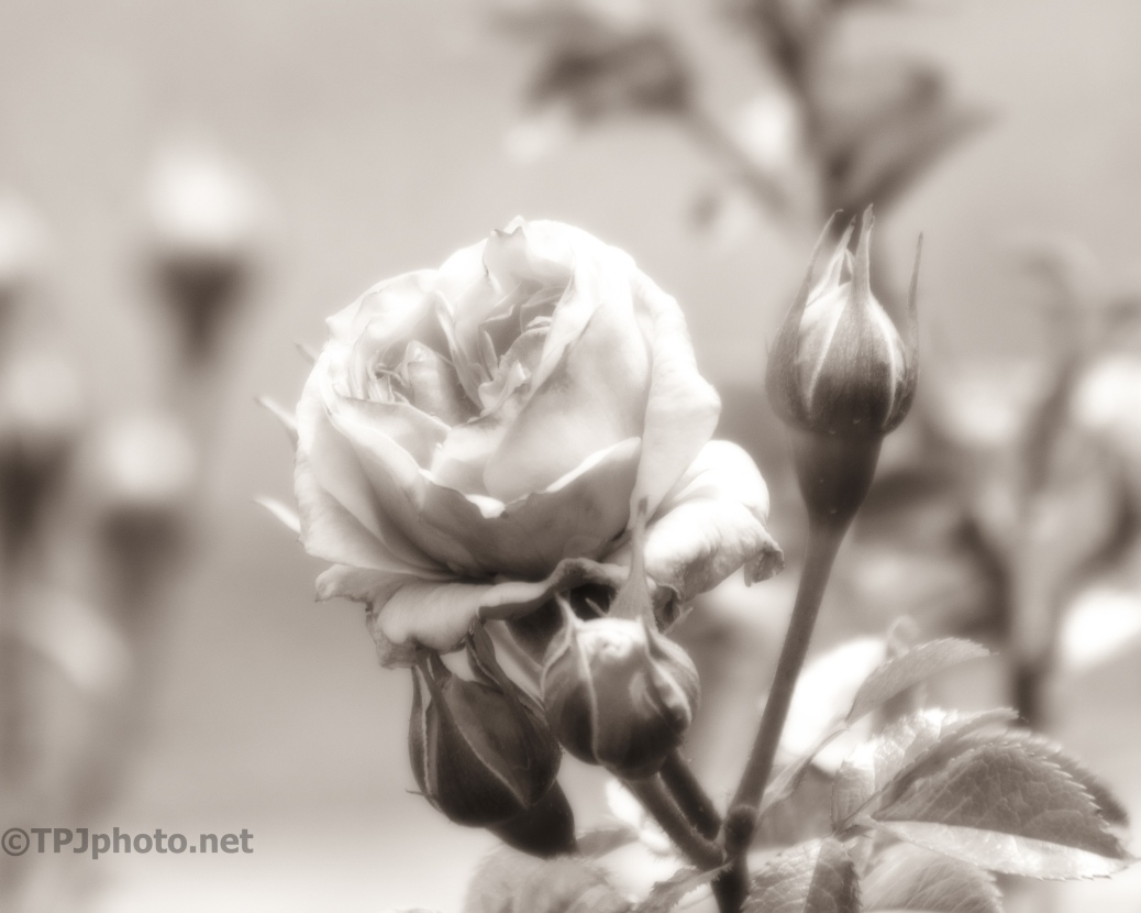 Soft Monochrome Of A Rose - click to enlarge