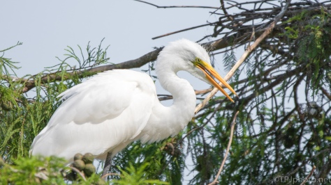 White Feathers, Egret - click to enlarge