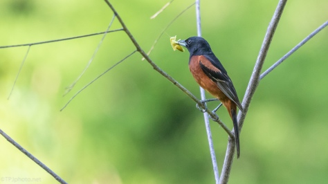 Orchard Oriole - click to enlarge