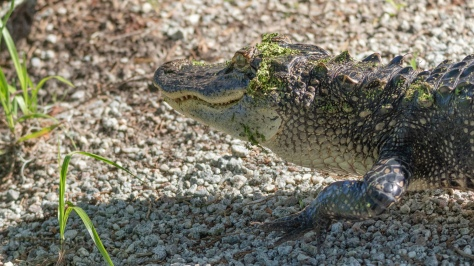 I thought We Had Reached An Agreement, Alligator - click to enlarge