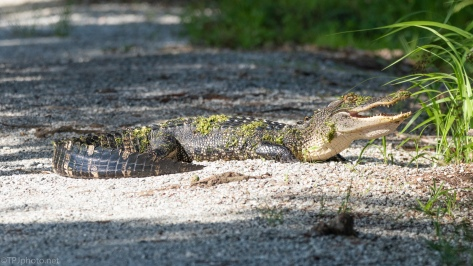 Alligator Teenagers - click to enlarge