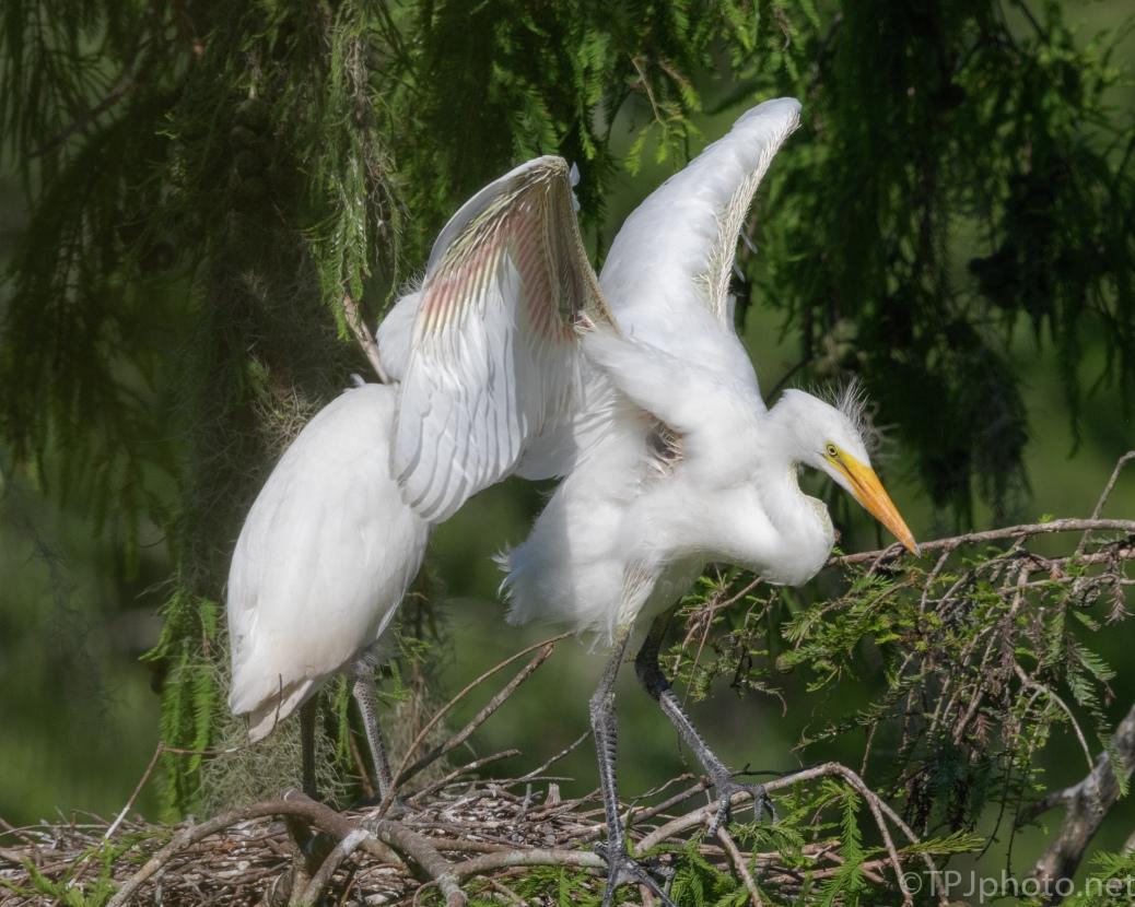 Flight Simulator, Egrets - click to enlarge