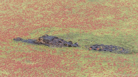 Alligator, Hidden And Hunting - click to enlarge