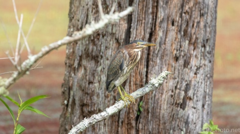 Green Heron By A Small Rookery - click to enlarge