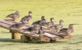 Wood Duck Clan - click to enlarge