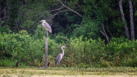 Young Great Blue Herons On Their Own - click to enlarge