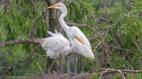 Juvenile Great Egrets - click to enlarge